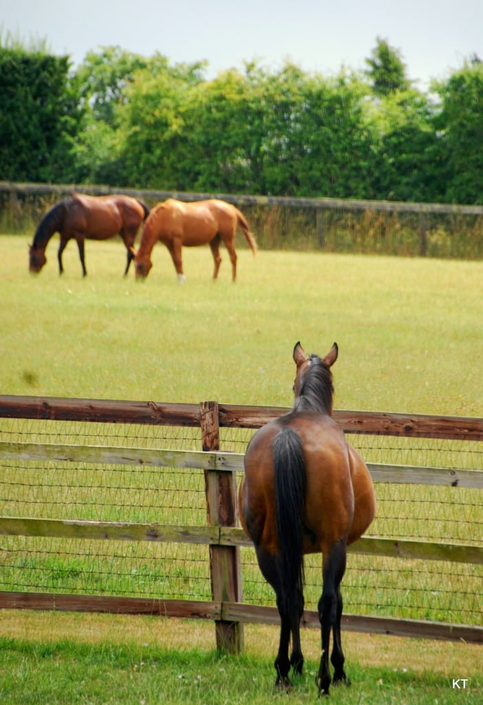 broodmares in pasture