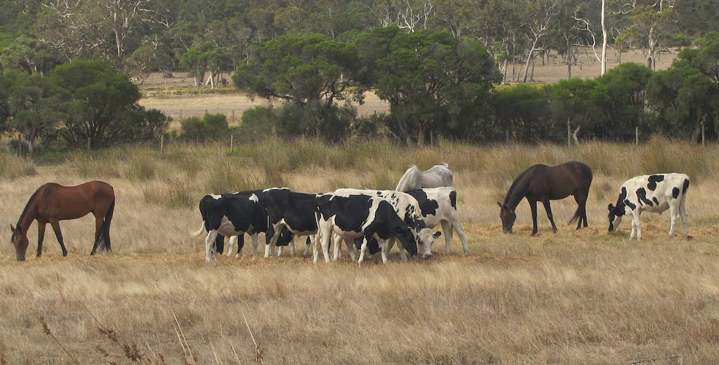 feeding horses in australia a guide for horse owners