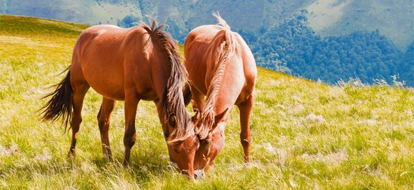 friendly grazing horses