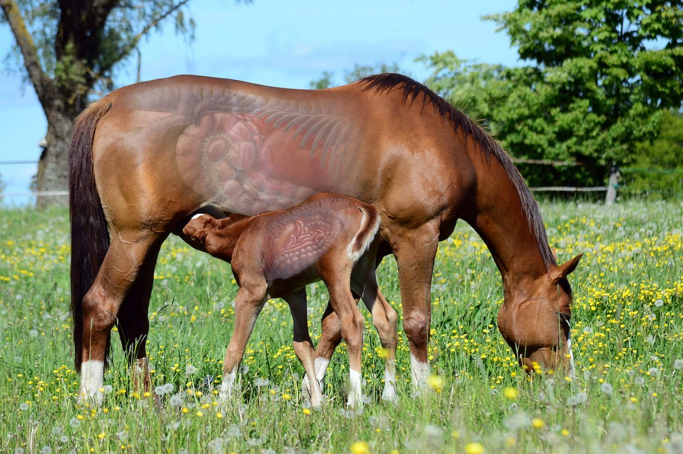 Mare & Foal GI tracts